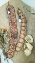 エンタダ豆 藻玉 幸運のお守り 世界最大の豆