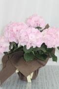 ジューンブライド ピンクアジサイ 鉢植え