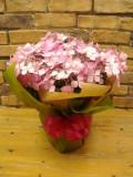 ピンクアジサイ 鉢植え バルーン付き