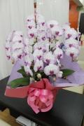 ご予約商品   胡蝶蘭(紫)5連