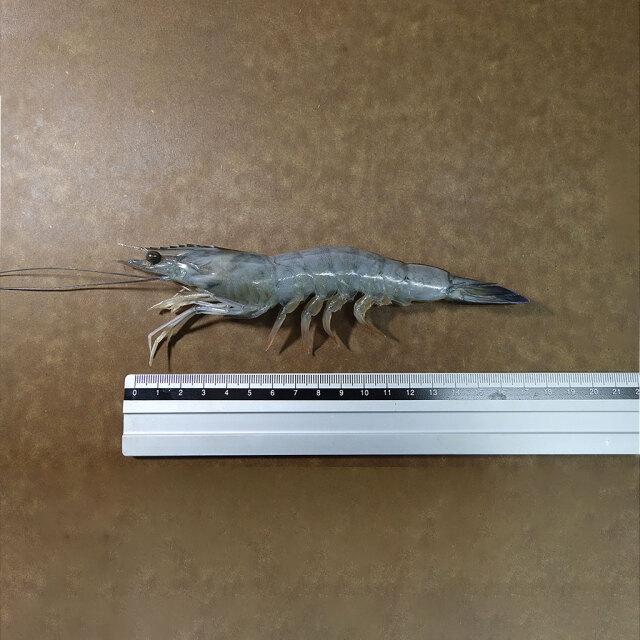 天使の海老3040 サイズ
