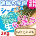 らっきょう|ラッキョウ|鳥取北条砂丘から朝掘り直送|シャキシャキらくだらっきょう2kg|根付き||砂付き|土付き|送料無料|通販|お取り寄せ