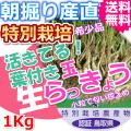 鳥取北条砂丘の特別栽培葉付きパリパリ玉らっきょう 1kg(送料無料 特産品 ご当地グルメ ご贈答品)
