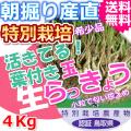鳥取北条砂丘の特別栽培葉付きパリパリ玉らっきょう 4kg(送料無料 特産品 ご当地グルメ ご贈答品)