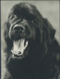 Bruce Weber: Gentle Giants A Book of Newfoundlands