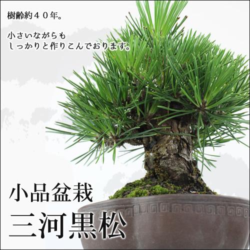 小品盆栽 三河黒松