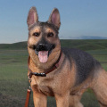 【DID】AS003 German Shepherd 1/6スケール 犬 ジャーマンシェパード