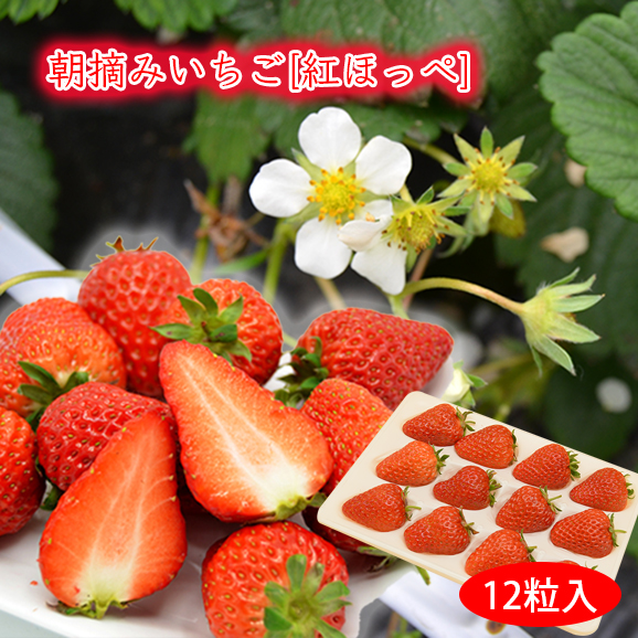 [送料無料]朝摘みいちご紅ほっぺ[12粒入]