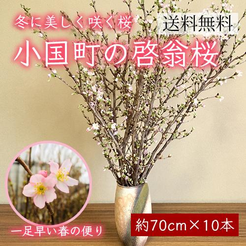 小国町の啓翁桜[約70cm×10本]