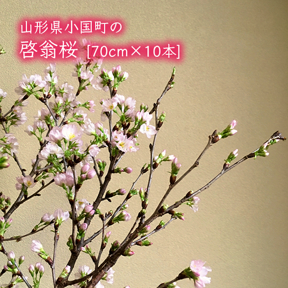 山形県小国町の啓翁桜[約70cm×10本]