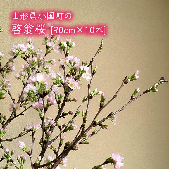 山形県小国町の啓翁桜[約90cm×10本]