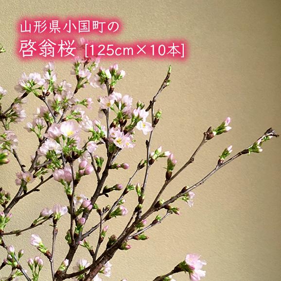 山形県小国町の啓翁桜[約125cm×10本]