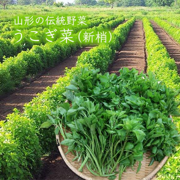 山形の伝統野菜うこぎ菜(新梢×400g)