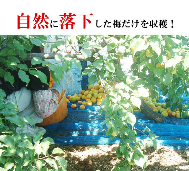 梅干し通販で大人気の梅が梅乃音うす塩味