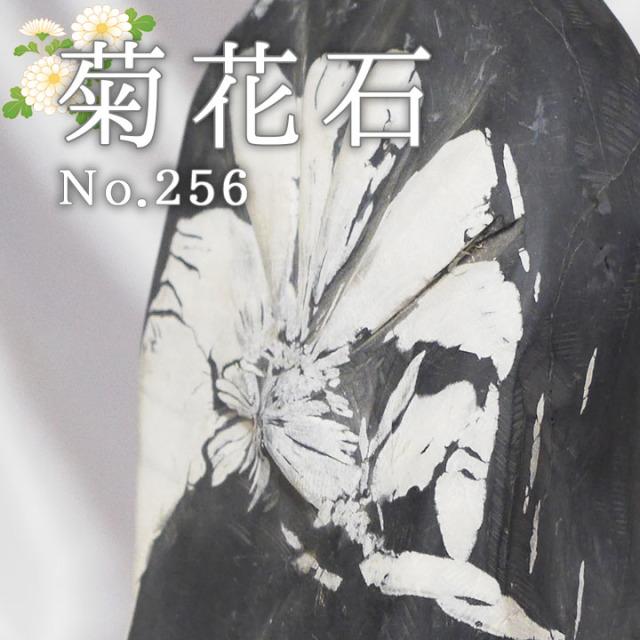 菊花石 No.256 【鑑賞用鉱石】
