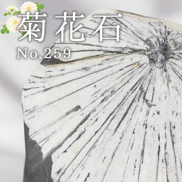 菊花石 No.259 【鑑賞用鉱石】
