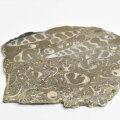 ツリテラ キリガイダマシ 巻貝 化石 スライス turritella ワシントン エリミアテネラ 腹足類