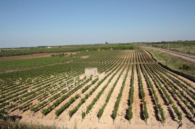 ネロ・ディ・トロイアの畑