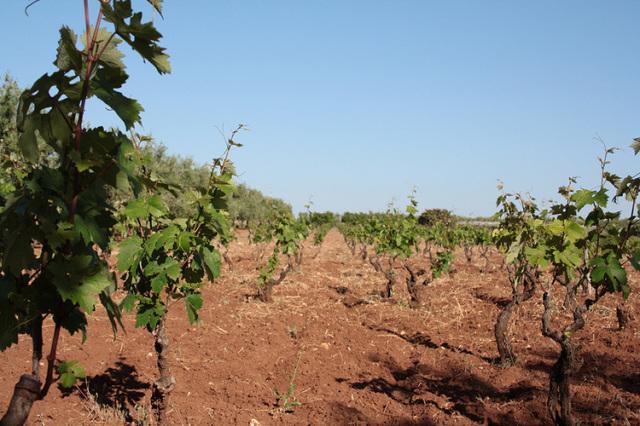 プリミティーヴォの畑