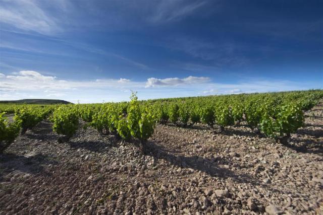 銘醸地リオハのテンプラニーリョの畑