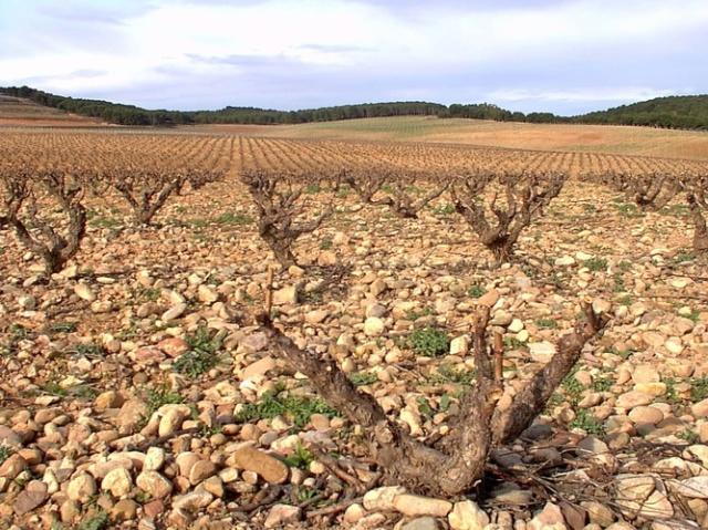 ゴブレ仕立てのテンプラニーリョの畑