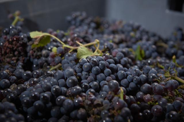 収穫されたばかりの葡萄