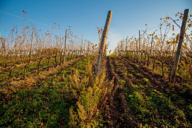 サンジョベーゼの畑 向かって右と左で土壌のタイプが異なる