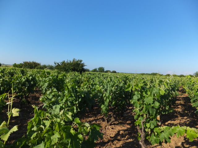 ネグロアマーロの畑
