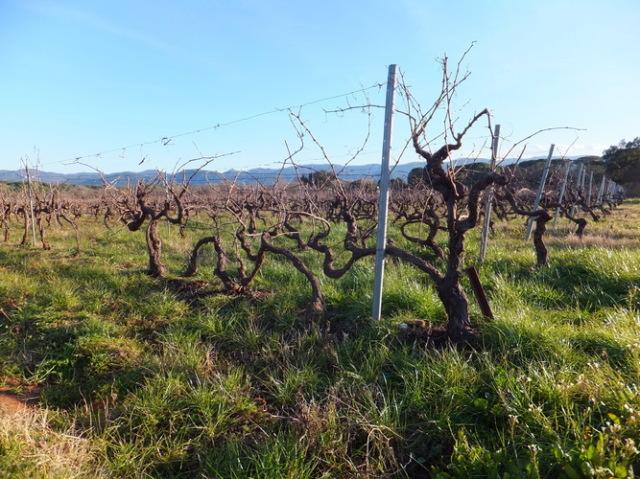 葡萄畑と背後にあるモー山塊