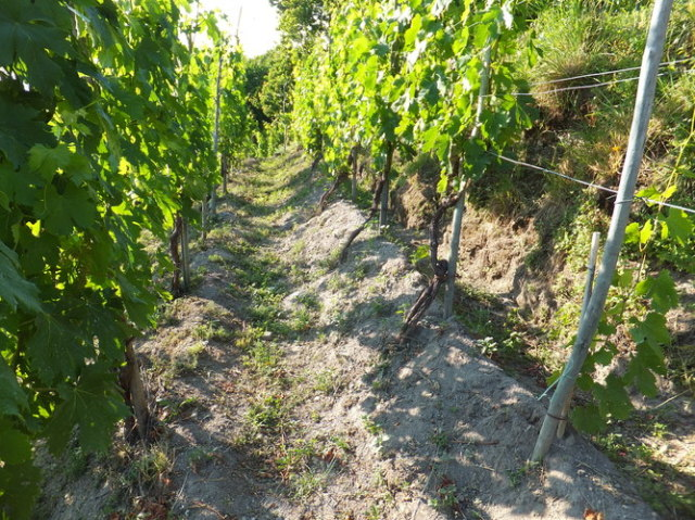 土壌は火山性の砂 自根率100%の畑