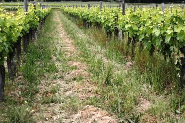 ソーヴィニヨン・グリ種の畑
