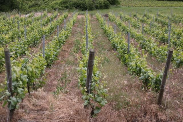 自然農法の葡萄畑