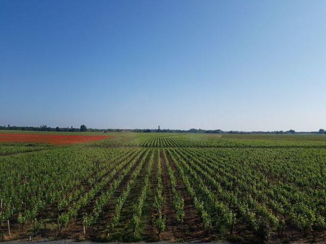 シャトー・トゥール・サン・フォーの葡萄畑