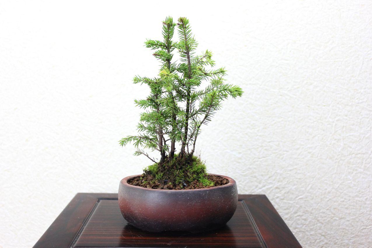 エゾ松,苔,苔玉,ミニ盆栽,盆栽通販,