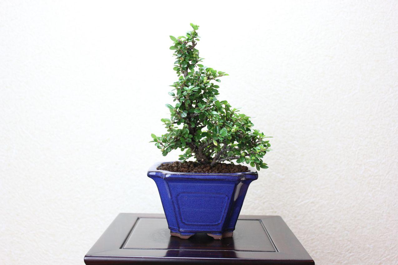 ベニシタン,苔,苔玉,ミニ盆栽,盆栽通販,