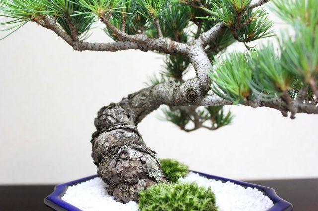 五葉松,苔,苔玉,ミニ盆栽,盆栽通販,
