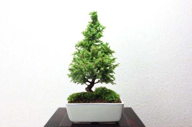 八房杉,苔,苔玉,ミニ盆栽,盆栽通販,