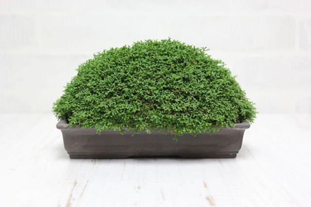 針金カズラ,苔,苔玉,ミニ盆栽,盆栽通販,