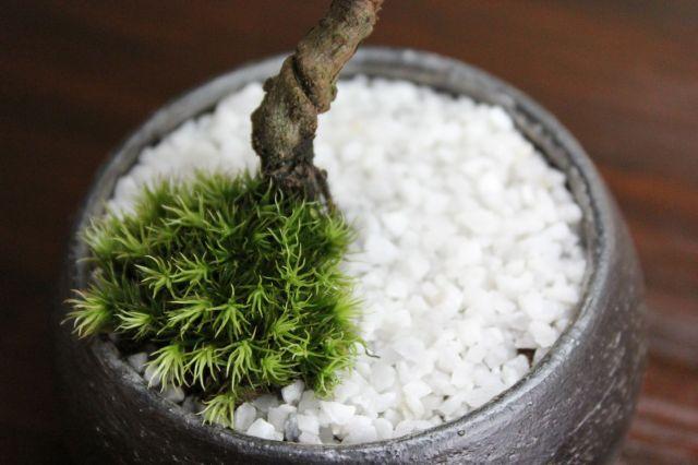 黒松丸,苔,苔玉,ミニ盆栽,盆栽通販,