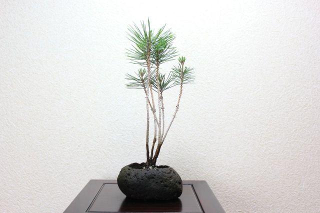 黒松寄せ植え軽石,苔,苔玉,ミニ盆栽,盆栽通販,