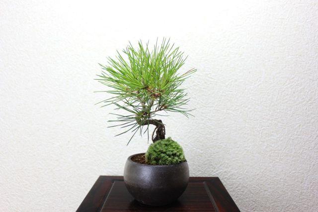 黒松,苔,苔玉,ミニ盆栽,盆栽通販,