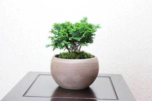 津山檜,苔,苔玉,ミニ盆栽,盆栽通販,