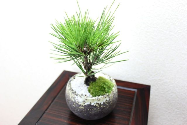 錦松,苔,苔玉,ミニ盆栽,盆栽通販,