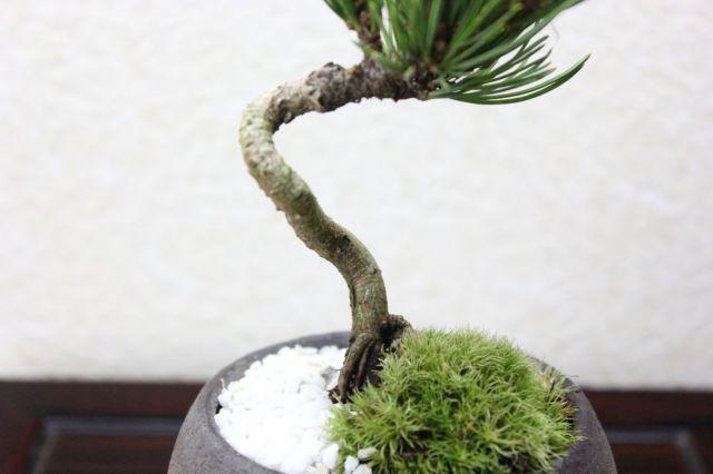 八房銀性五葉松,苔,苔玉,ミニ盆栽,盆栽通販,