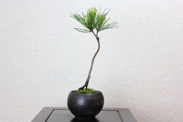 蛇の目松,苔,苔玉,ミニ盆栽,盆栽通販,