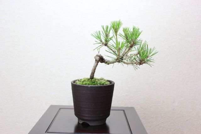 三河黒松,苔,苔玉,ミニ盆栽,盆栽通販,