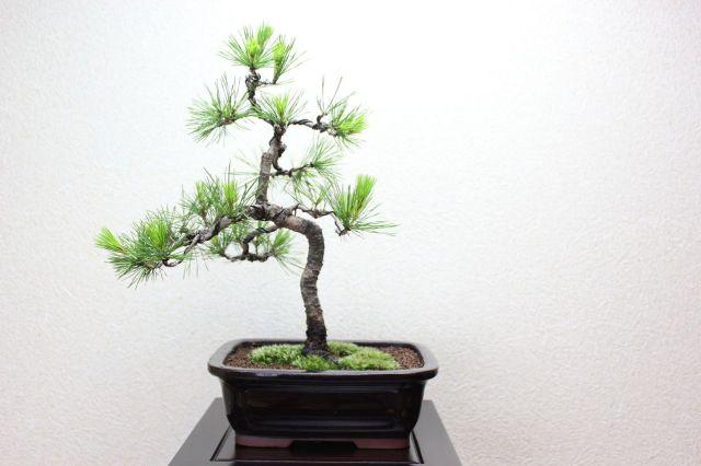 赤松,苔,苔玉,ミニ盆栽,盆栽通販,
