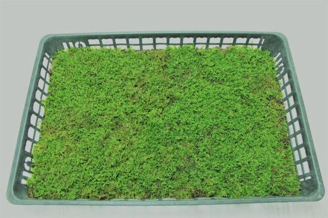 ハイ苔トレイ,苔,苔玉,ミニ盆栽,盆栽通販,