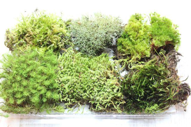 苔のアラカルト,苔,苔玉,ミニ盆栽,盆栽通販,