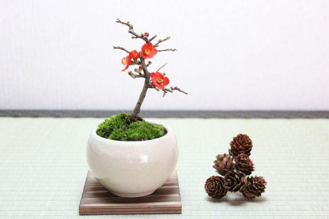 長寿梅,苔,苔玉,ミニ盆栽,盆栽通販,